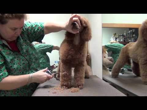 Poodle puppy grooming Vol. 3