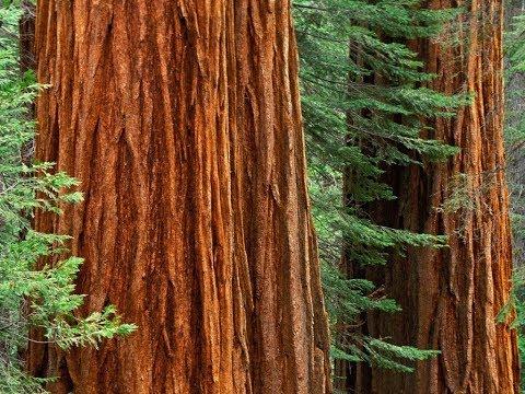 Meet Parson Jones - Armstrong Redwood Woods Guerneville CA