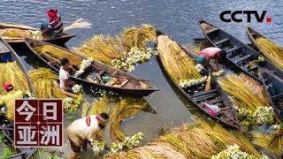 [今日亚洲] 速览 丰收!孟加拉国采莲季 农民湖中忙采摘   CCTV中文国际