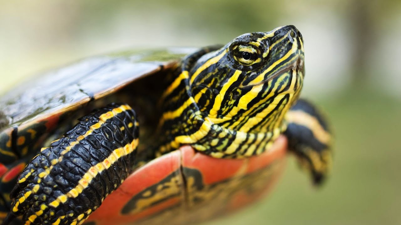 what s a painted turtle pet turtles   youtube