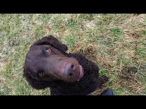 Dummytraining Curly Coated Retriever Leo