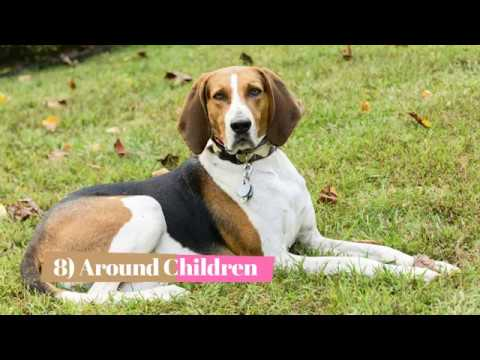 English Redtick Coonhound
