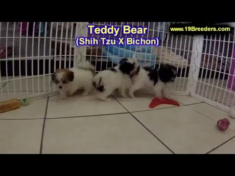 Teddy Bear, Puppies For Sale, In Winston-Salem, County, North Carolina, NC, 19Breeders, Fayetteville