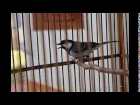 Burung Gelatik Batu Gacor Teler