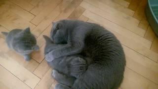Кошка моет котенка