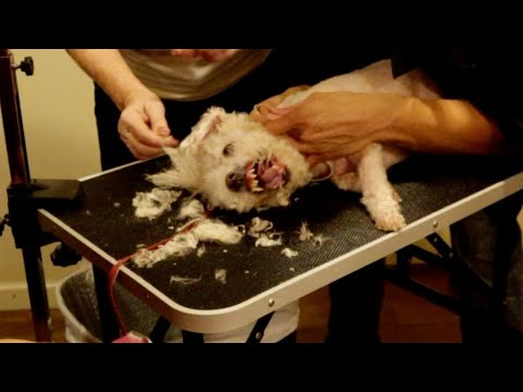 Live Aggressive Dog Grooming