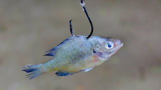 Bluegill for Catfish Bait