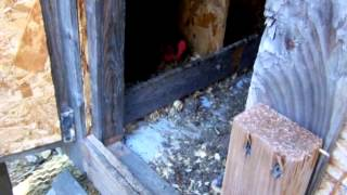 Ozark Mountain Girl has a broody hen .........