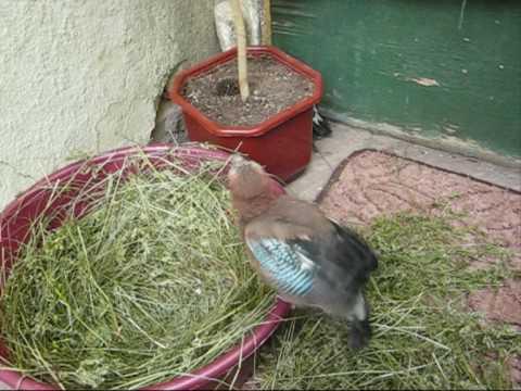 Птица сойка: где живёт и как выглядит