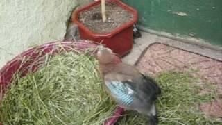 Птенцы сойки