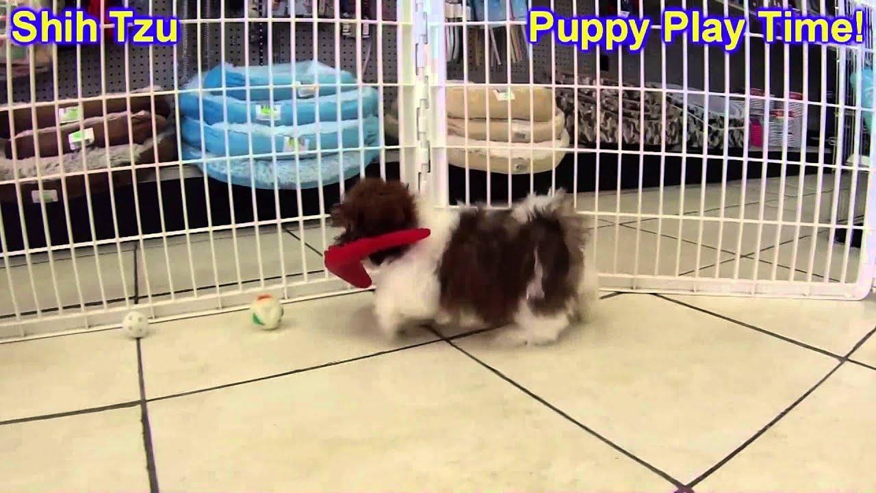 Shih Tzu Puppies For Sale In Olathe Kansas County Ks