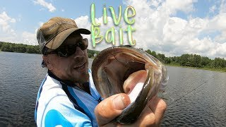 Fishing with live bait for BIG Bass! (Golden Shiner) - plus HUGE drop shot fish