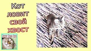 Приколы с котами. Кот ловит свой хвост. Кот играет с хвостом.