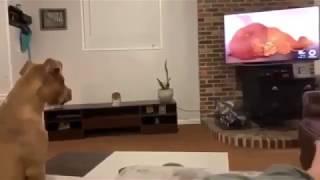 Питбуль в слезах перед фильмом «Король Лев»  собака