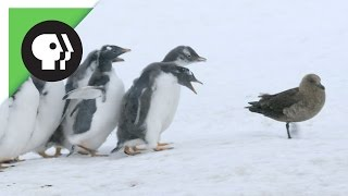 Penguin Chicks Fend Off Predator