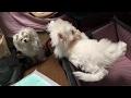 マルチーズと子犬ダヤン3ヶ月ペットドライブボックス