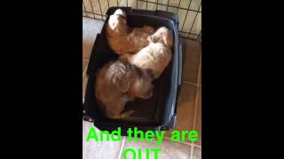 Litter Training Puppies + Crate Training! - Pups By Taylor
