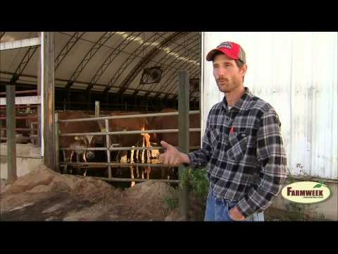 Sugar beets may replace corn for cattle feed