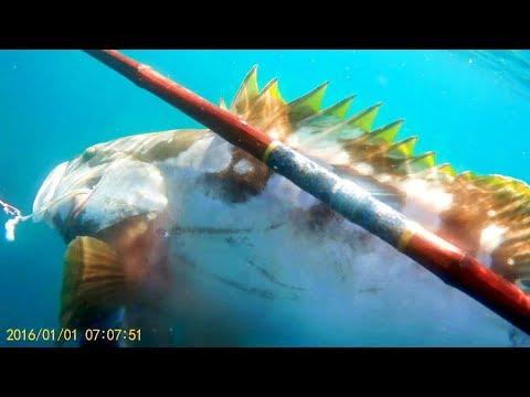 素潜り=クエの突き方【魚突き】【ならぎょEp.4】 polespear spearfishing