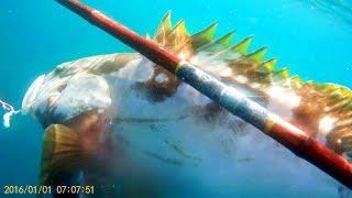 高級魚クエを素潜りして銛で突く動画。 安全にクエを捕るための方法!?...