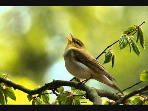 Bird songs [10 hours]
