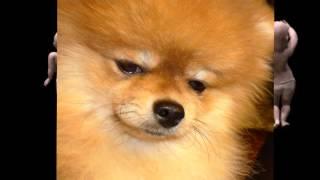 Top Pomeranian