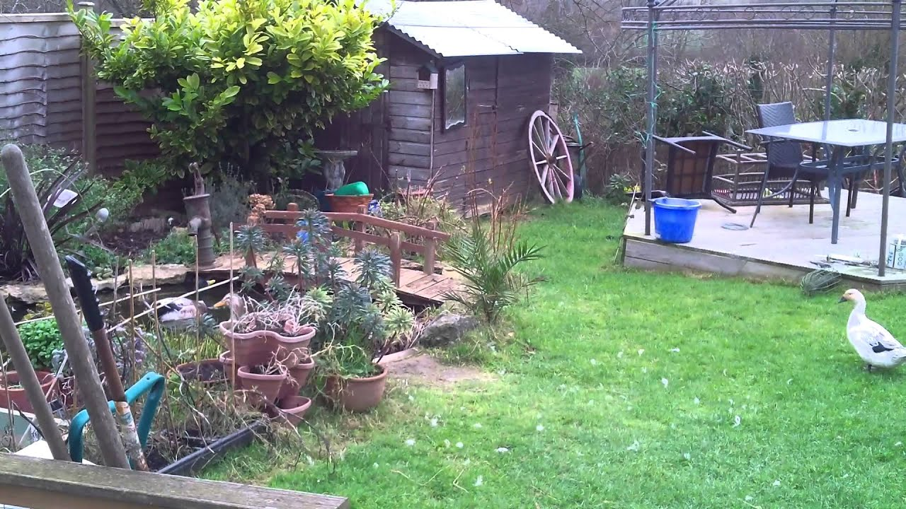 My Chickens and Ducks ( Welsh Harlequins and Silver Appleyards )