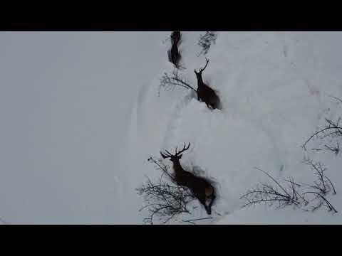Filomena León nieve: Ciervos en la nieve, en Puebla de Lillo