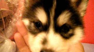 Black Male Siberian Husky Puppy[sold]