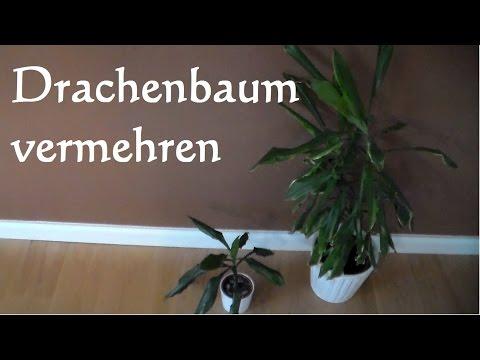 dracaena marginata drachenbaum dragon tree doovi. Black Bedroom Furniture Sets. Home Design Ideas