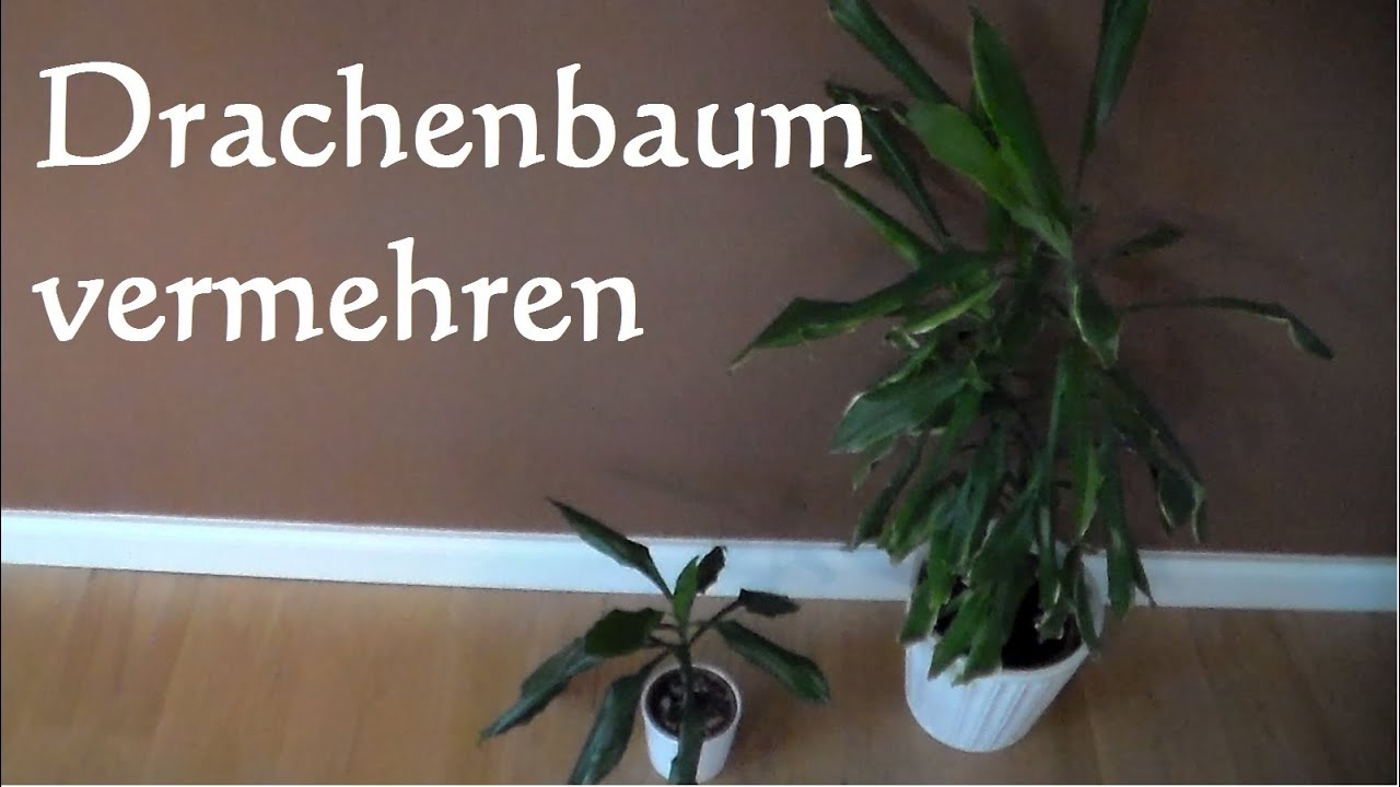 drachenbaum vermehren stecklinge dracaena marginata. Black Bedroom Furniture Sets. Home Design Ideas