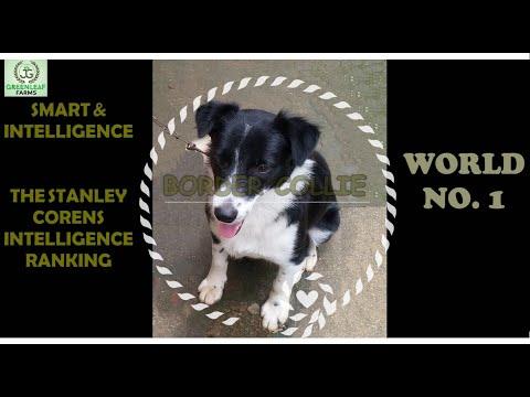 BORDER COLLIE  SMART & INTELLIGENT WORLD NO.1  THE HERDING DOG