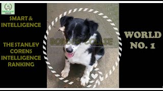 BORDER COLLIE  SMART & INTELLIGENT WORLD NO.1  THE HERDING DOG