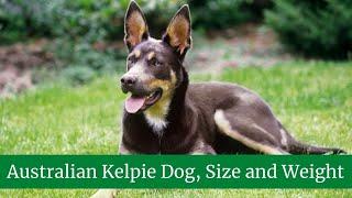 Australian Kelpie Dog || Australian Kelpie Size and Weight || Australian Kelpie Size and Weight