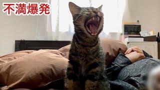 体調不良で飼い主にかまってもらえず不満を爆発させてしまった猫w