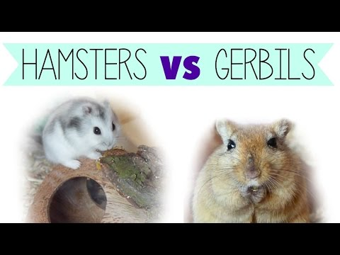 Hamsters VS Gerbils (as Pets)