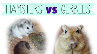 Hamsters VS Gerbils (as pets)