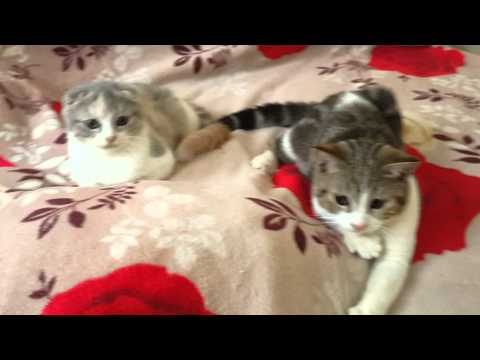Scottish fold & Scottish staight by Manekineko Cattery#Cat