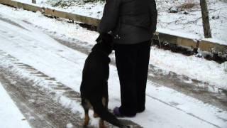 Дрессировка восточно-европейской овчарки www.dogclass.ru/