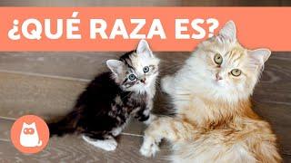 ¿Cómo saber la raza de tu gato? - TODAS LAS RAZAS DE GATOS