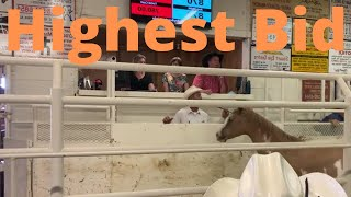 SELLING A HORSE AT AN AUCTION | BIGGER AND BETTER | sick cow