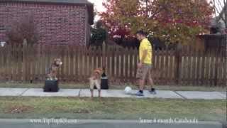 Tulsa Dog Training Jamie Catahoula W Distractions