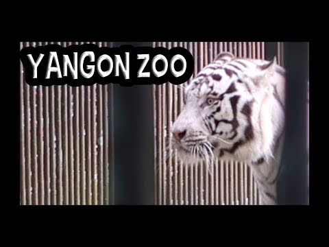 MYANMAR TRAVEL HIGHLIGHTS - YANGON ZOO - WHITE TIGER!!