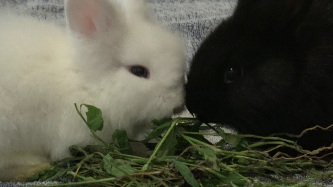 White and black little cute bunny rabbits eating carrots ...
