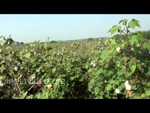Cotton Farming, Nandikonda