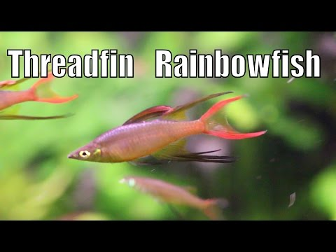 ThreadFin RainbowFish (Iriatherina Werner)