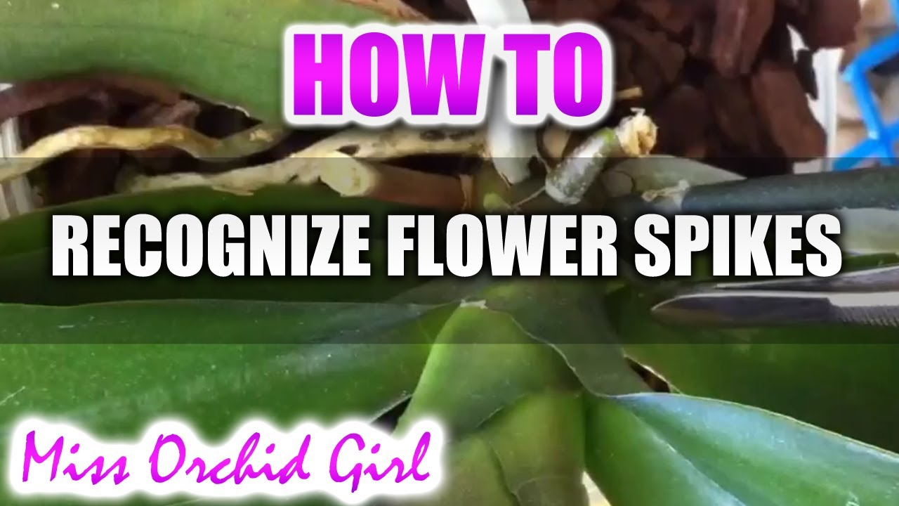 Difference Between Flower Spikes And Roots Phalaenopsis Orchids