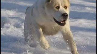 Нападение собаки породы АЛАБАЙ на человека!