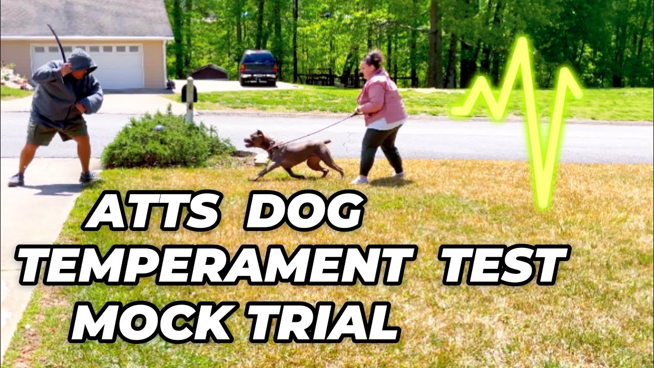 Dog Temperament Test Trial Run with our Cane Corsos Chevy & Phoenix