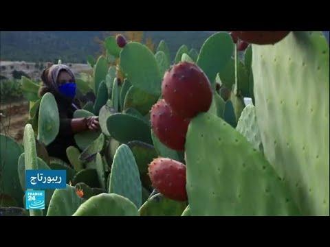 ولاية القصرين التونسية: زراعة التين الشوكي لمكافحة التجاعيد  - نشر قبل 2 ساعة